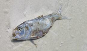 Brevetoxin: Weaponized Neurotoxic ShellfishPoisoning