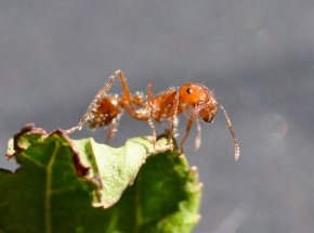 Fire Ants: The Sting thatBurns