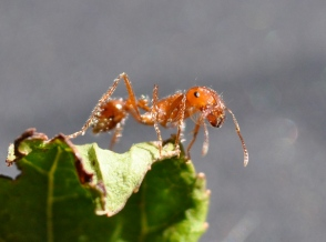 Fire Ant by Rick Hagerty (CC BY 2.0)