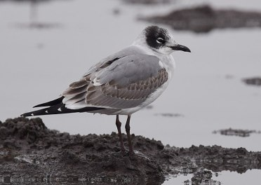 Franklins Gull by Andy Reago CC BY-2
