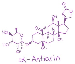 antiarin cardiac glycoside upas tree