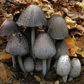 Coprine: Alcohol Poisoning From Mushrooms?